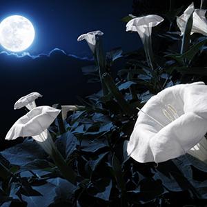 moon-flower-sm